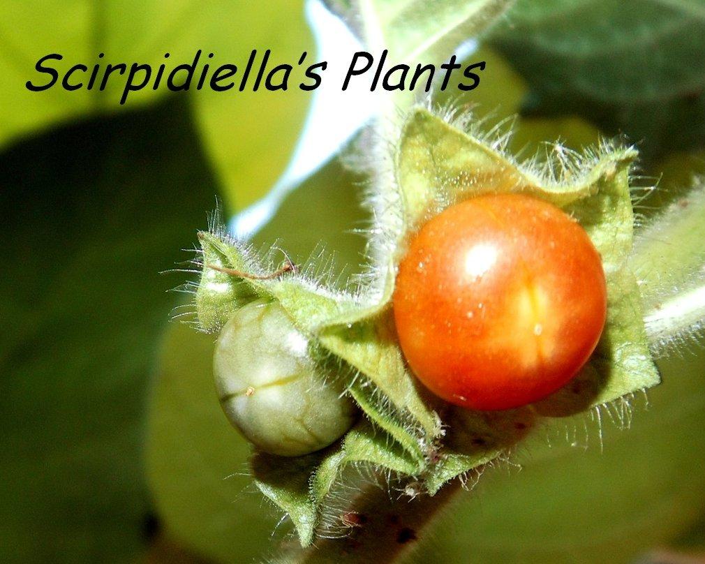 Scirpidiella's Plants