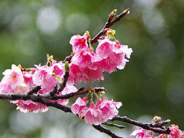 cherry blossoms,raindrops