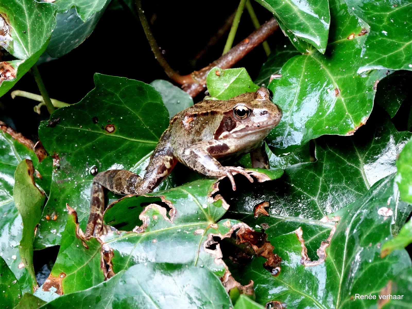 foto's groene en bruine kikkers