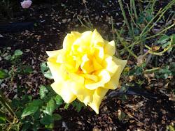 November rose 2014