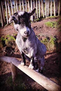 goat, zoo