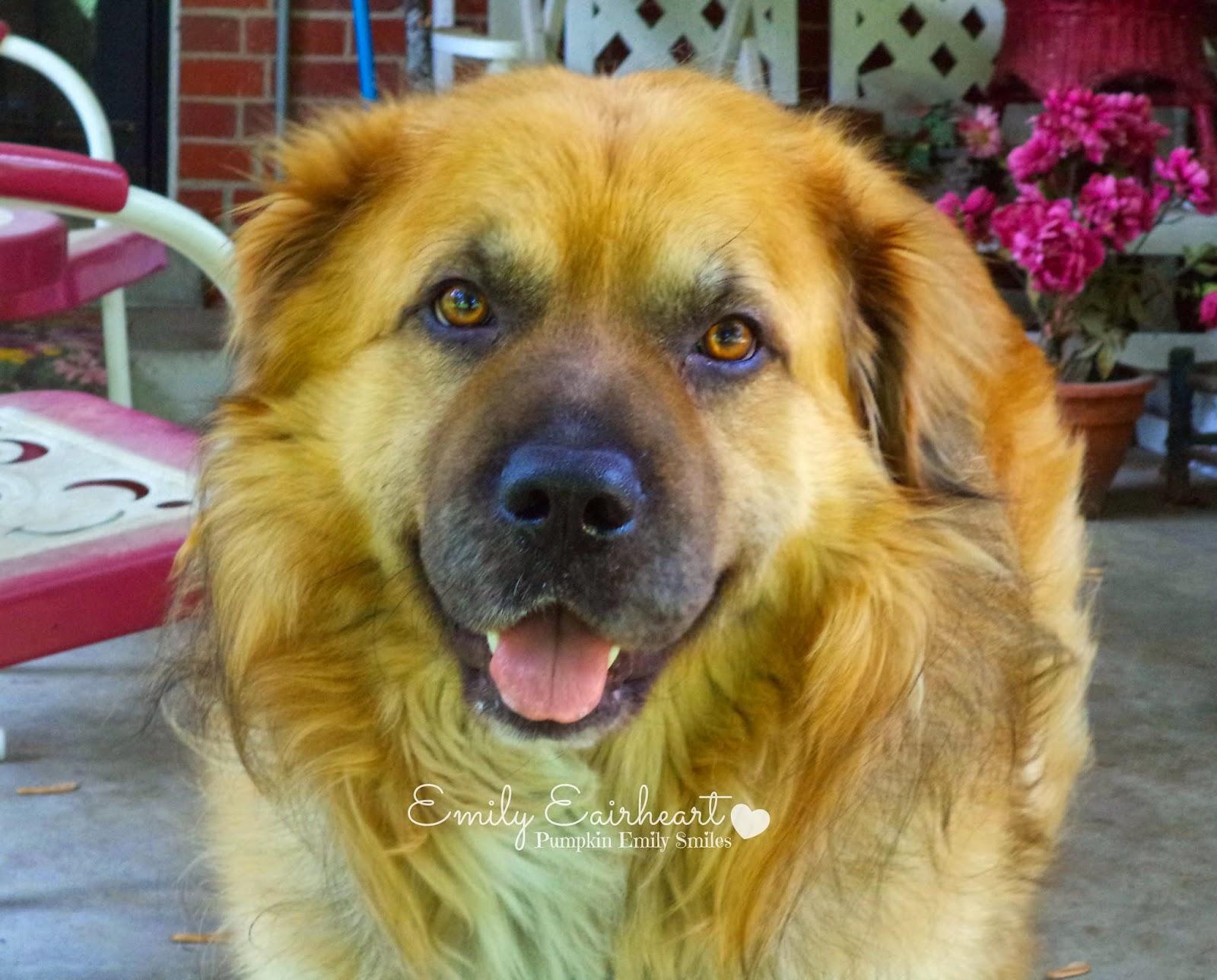 Smiling Rocky, German Shepherd and Golden Retriever Mix