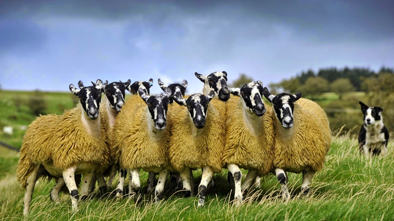 Sheep with a border collie in England (© Wayne Hutchinson/Minden Pictures) 49