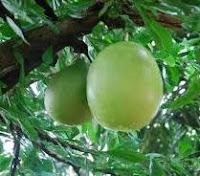 buah maja
