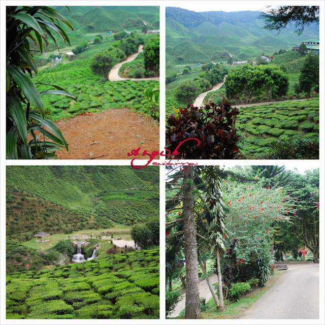 Miss You Cameron Highland