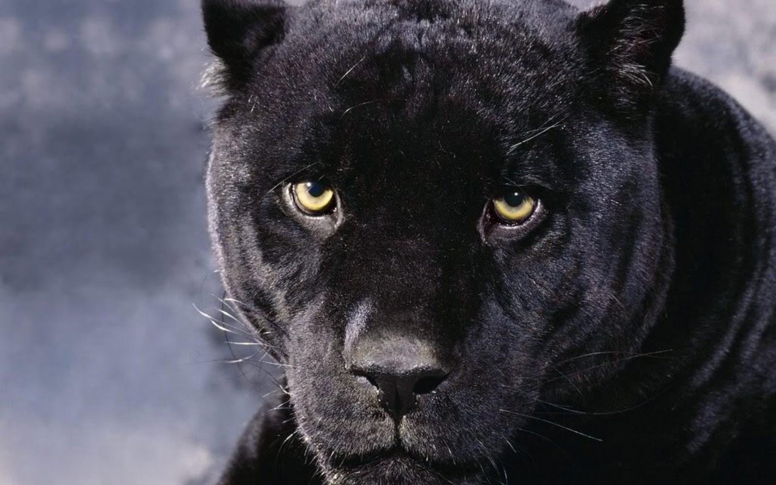 http://3.bp.blogspot.com/-kYiDTygHhyk/TZFQWJlZj7I/AAAAAAAABwI/MZvyiAAMB2k/s1600/Panther%20%2828%29.jpg