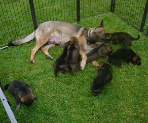 Ruby the German Shepherd feeding some of her pups while other play in the outside pen