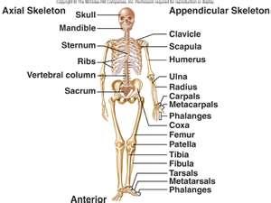 biology: unit 3, Skeleton