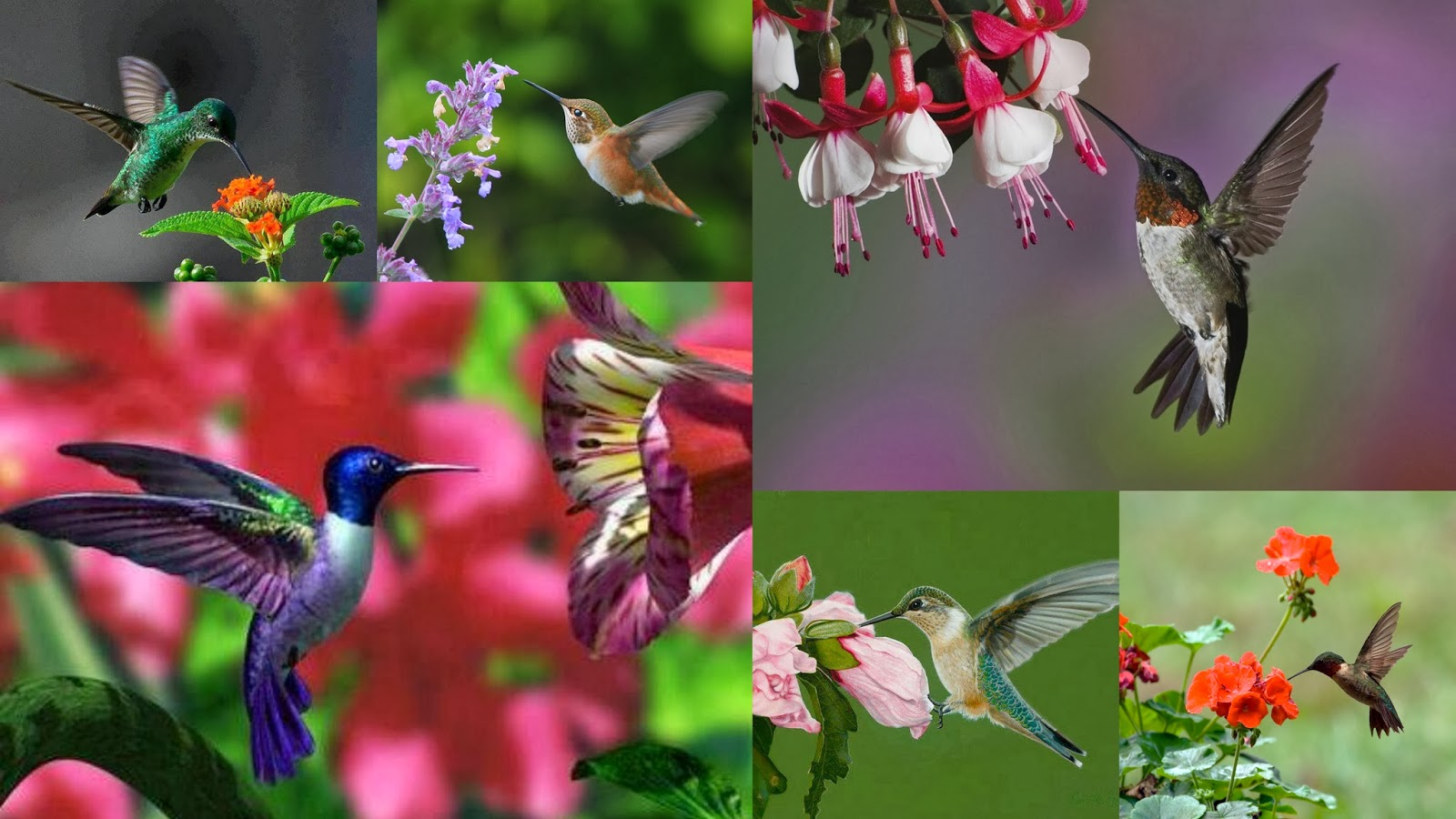 Beautiful Hummingbirds With Flower Bunches