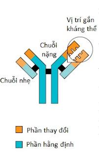 Cấu trúc đơn giản của một kháng thể
