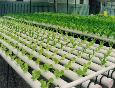 Nueva forma de cultivo: Hidroponia