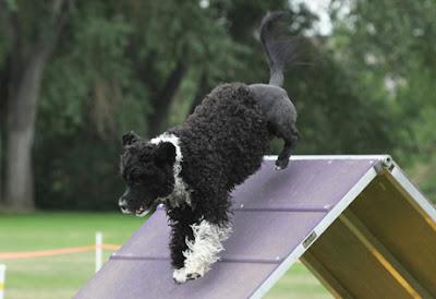 Portuguese-Water-Dog-Training