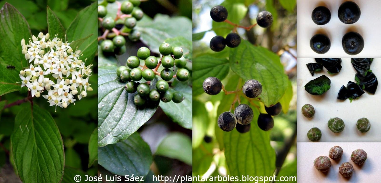 como se poloniza la flor de maracuya or passion fruit