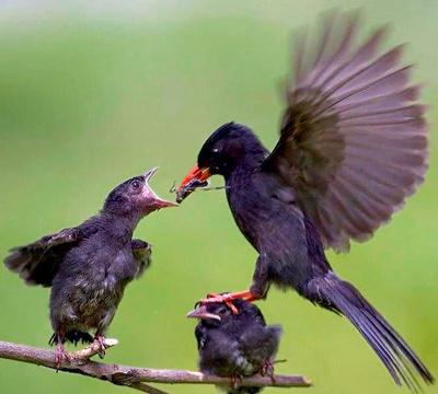 Fugleunge fodres af mor, der lander på hovedet af en søskende