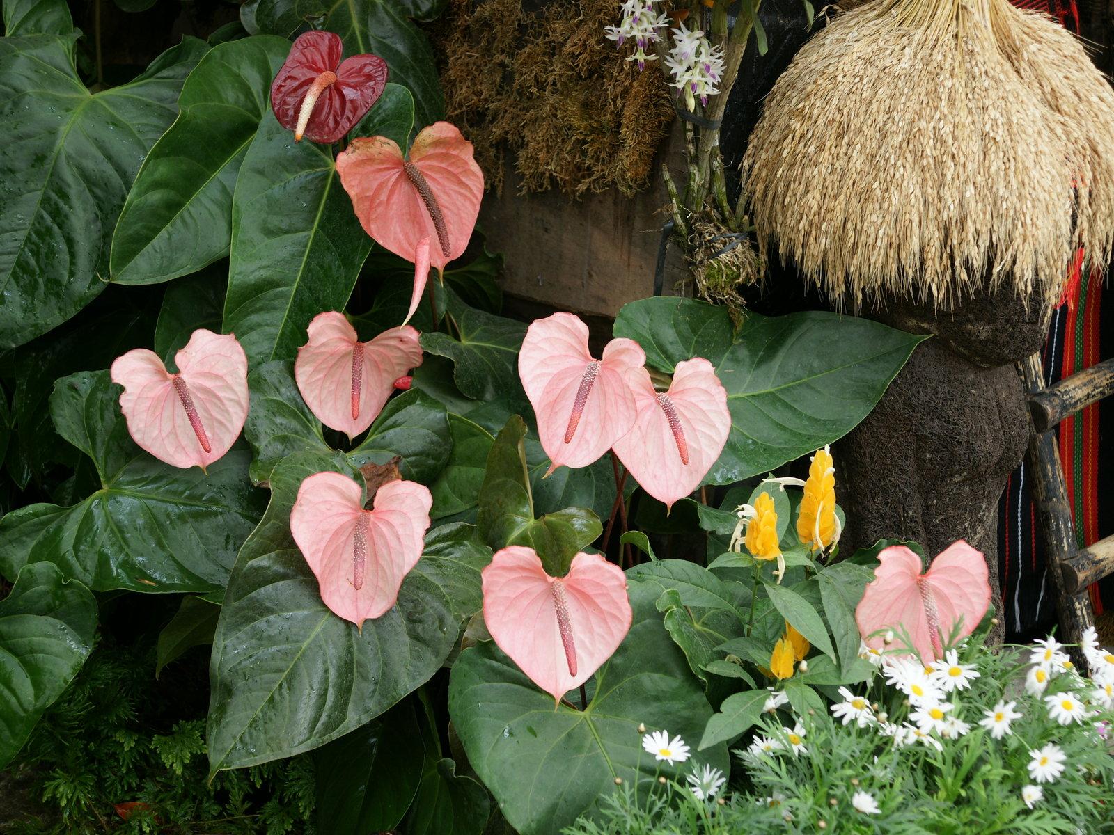 Pura natural anturio flamingo boy flower for Anturio cuidados