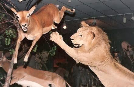 لماذا تسقط الغزالة فريسة للأسد بسهولة مع انها اسرع منه بكثير - غزال - غزلان اسد اسود افتراس - lion gazelle deer chase