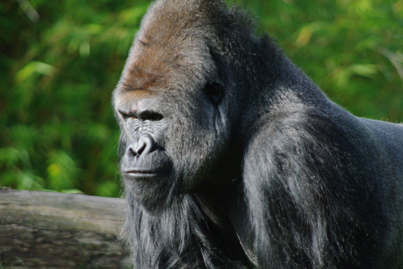 Gorilla mad - photo#14