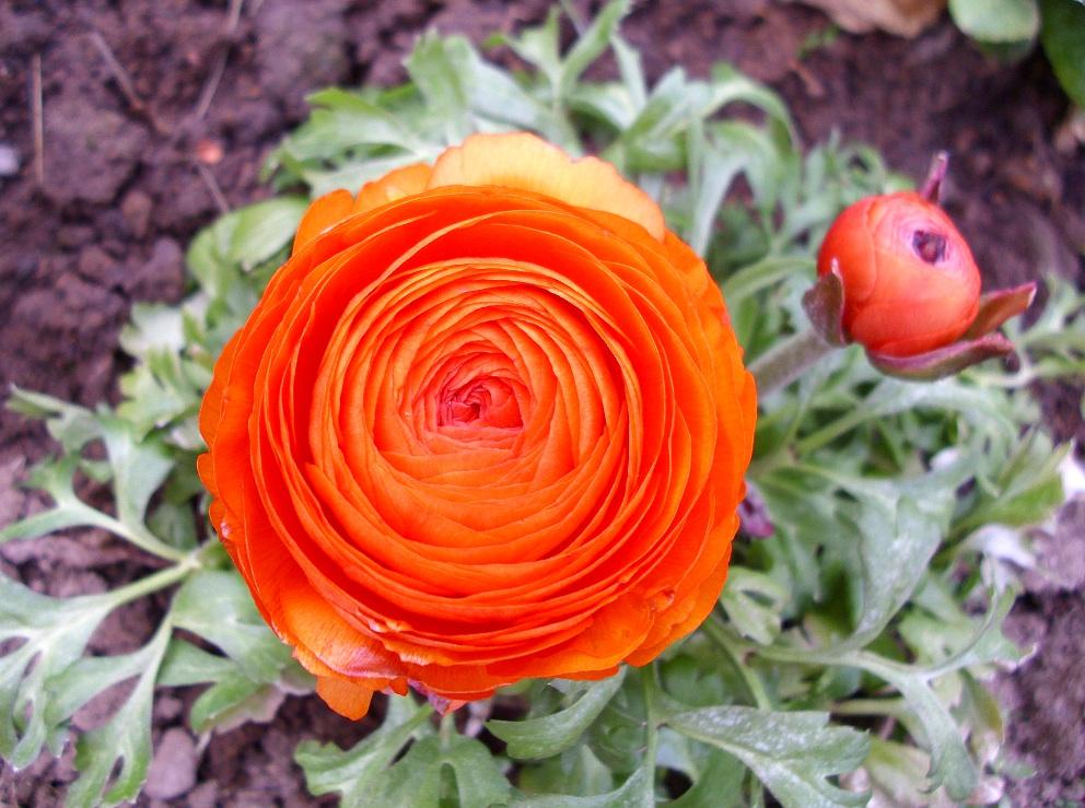 Ranunculus+Asiaticus-Persian+Buttercup+(Asiatischer+Hahnenfu%C3%9F)1-b.JPG