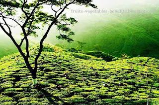 benefits_of_drinking_tea_everyday_fruits-vegetables-benefits.blogspot.com(benefits_of_drinking_tea_everyday_3)
