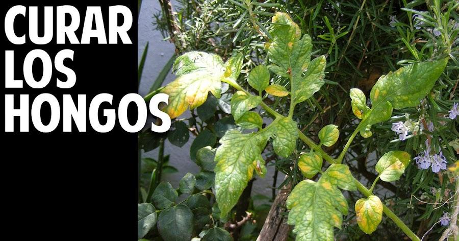 Como eliminar hongos en las plantas for Hongos en las plantas de jardin