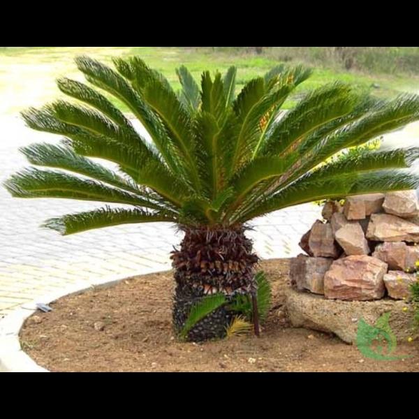 Пальмы Сочи  PrirodaSU