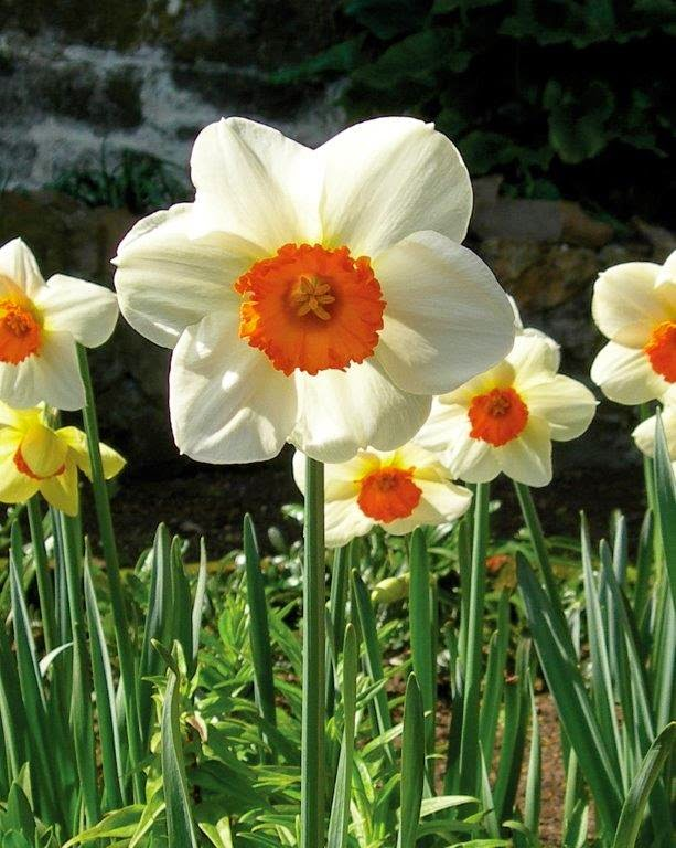 Best Daffodils for your Region
