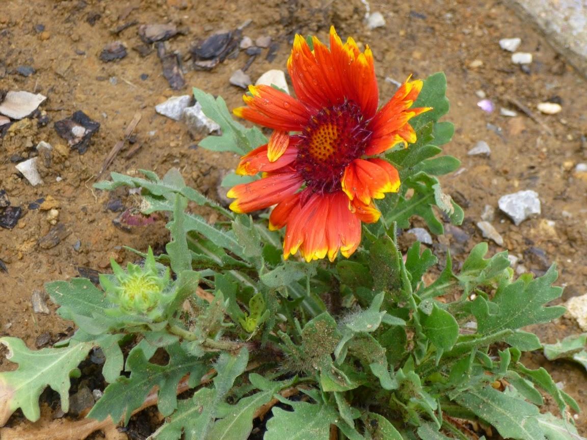 "Gaillardia x grandiflora ""Sunset Cutie"""