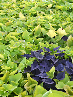purple leaves in the green