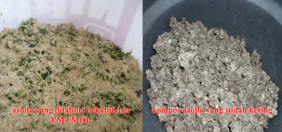 Kompos Azolla Kiri: azolla yang ditaburi bekatul dan EM – Kanan: kompos azolla yang sudah kering