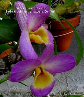 Dendrobium nobile híbrido, Dendrobium Olho de boneca