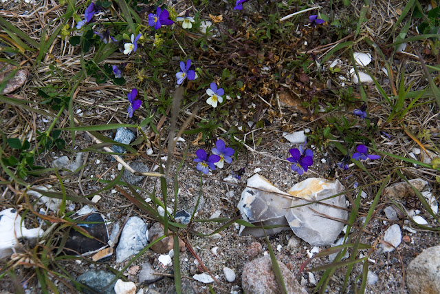 Little violets on the beach on Orø