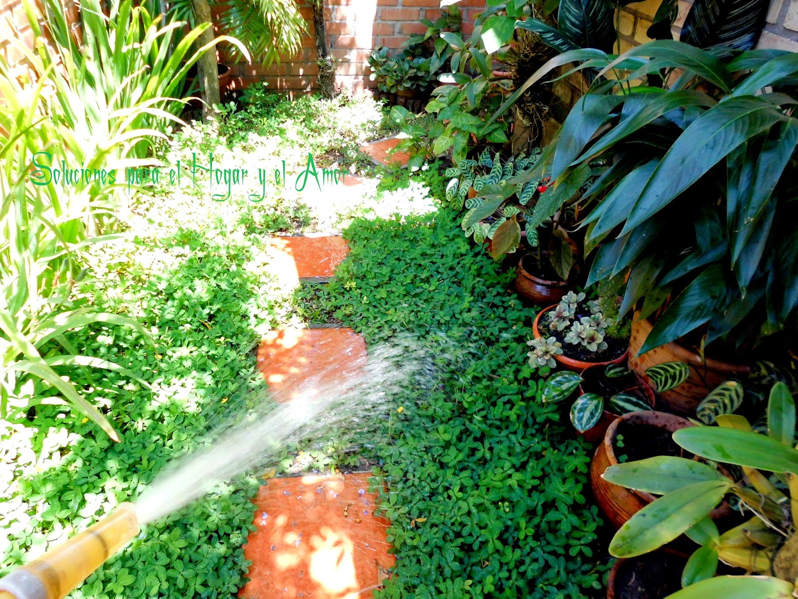 Regar el Jardín, plantas y flores, Maní forrajero,