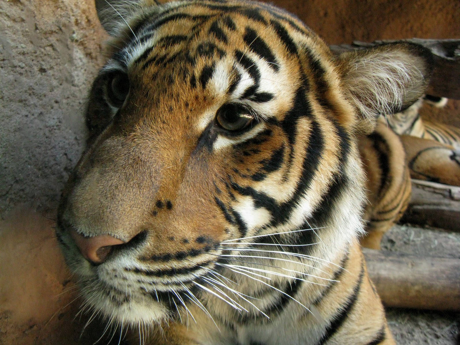 Redefining the Face Of Beauty : BEAUTIFUL TIGERS OF THE WORLD!