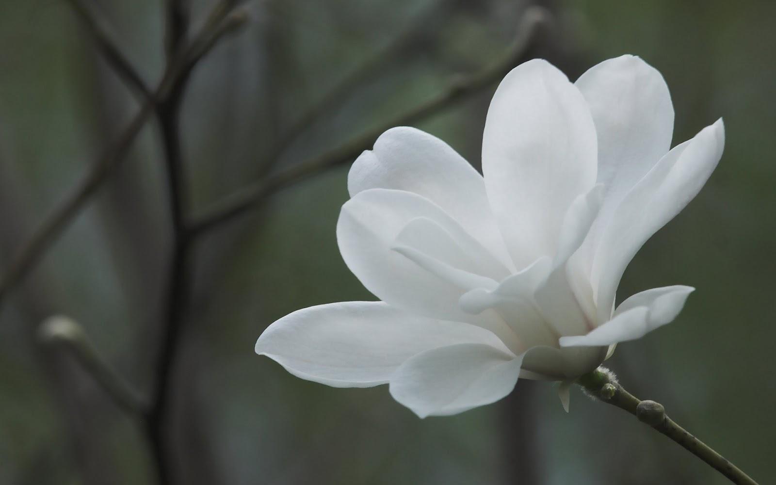 Flores Blancas en HD - White Flowers | Fotos e Imágenes en FOTOBLOG X: fotoblogx.blogspot.com/2012/02/flores-blancas-en-hd-white-flowers.html