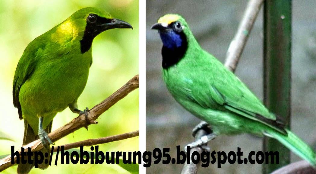 Cara Merawat Burung dan Ikan | Perawatan Burung Cucak Ijo Biar Gacor