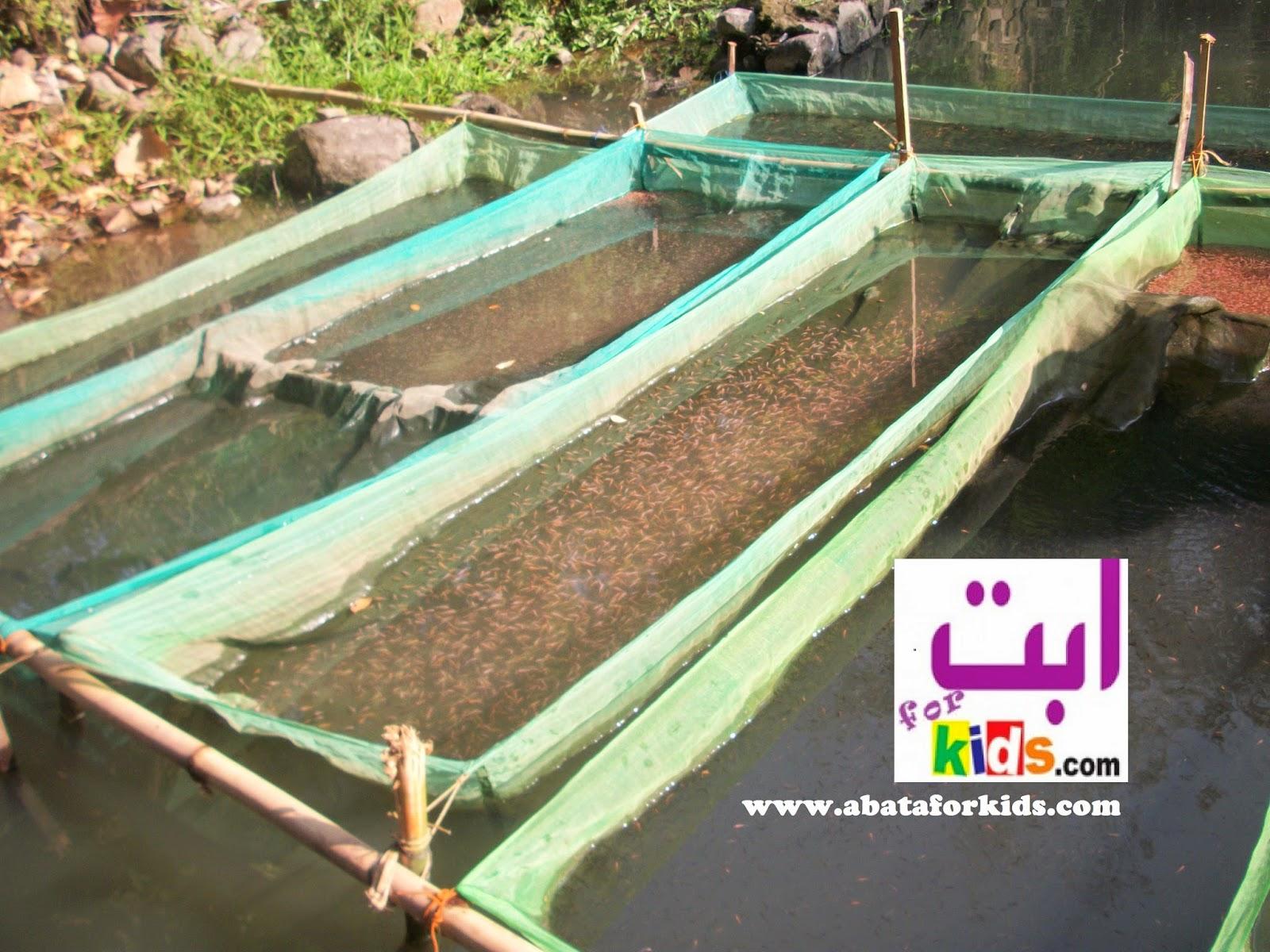 Bibit Dan Larva Nila Murah Di Bandar Lampung
