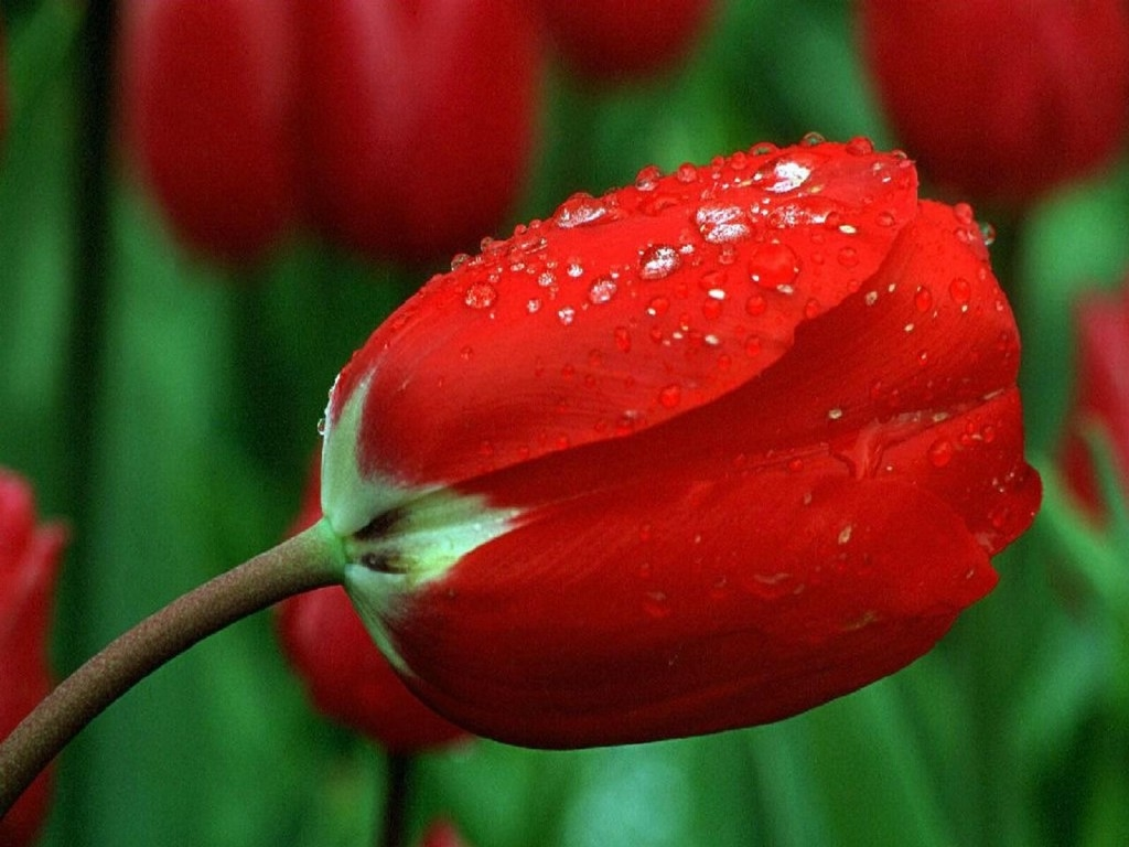 The Story of Quik Pik Flowers: Tulips Tulips Tulips!!!!!