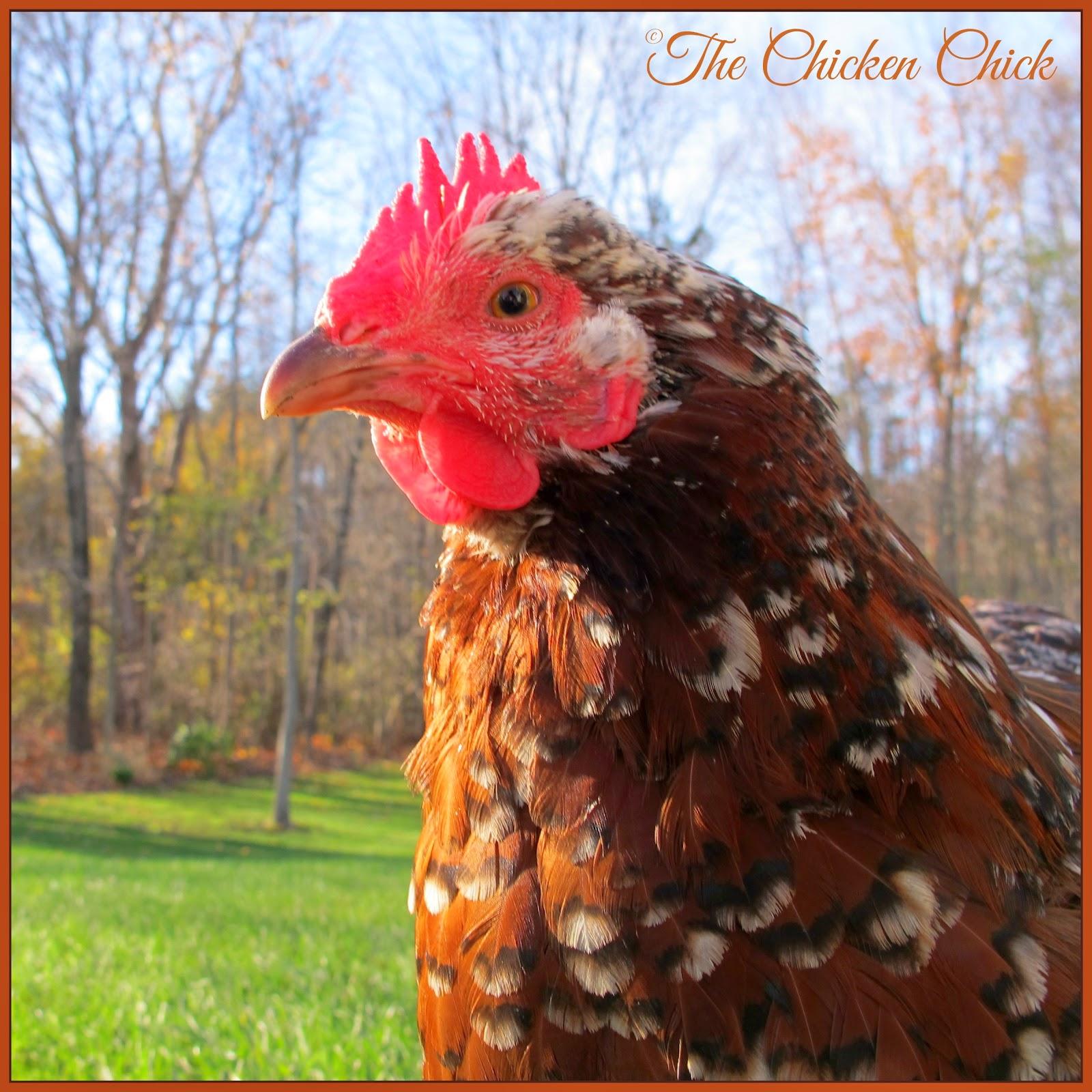 Kate, Speckled Sussex hen