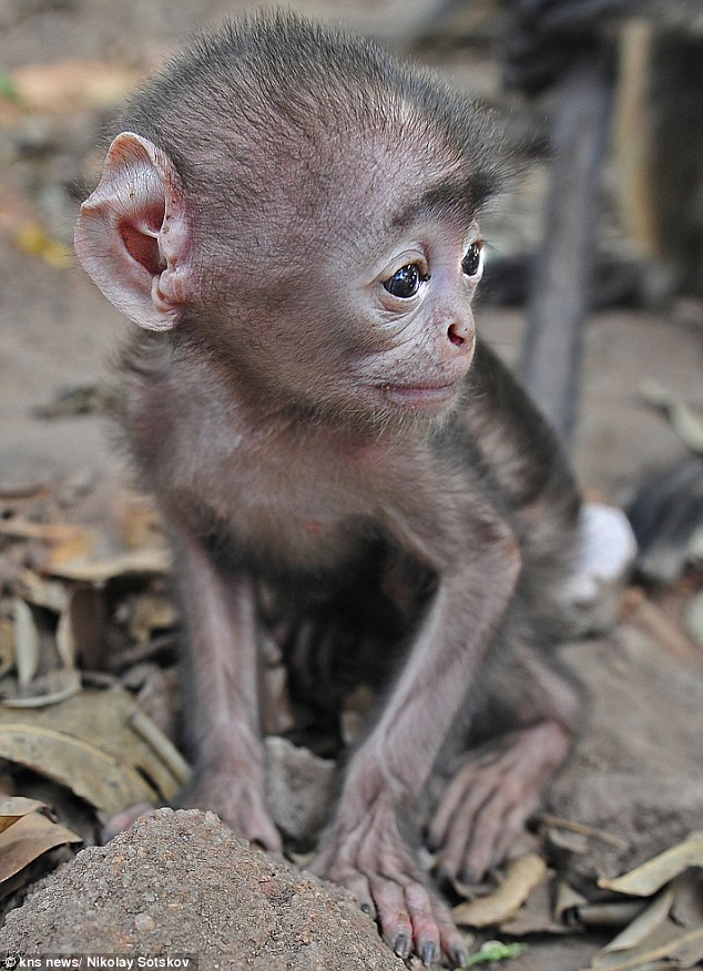 The animal zone is this the worlds cutest baby monkey tiny grey baby steps the tiny creature was spotted with other wild monkeys at a temple in bhubaneshvar india voltagebd Image collections