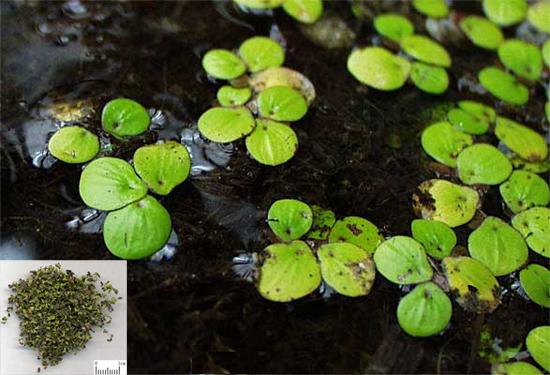 Spirodela polyrrhiza (L.) Schield. (Fam. Lemnaceae)