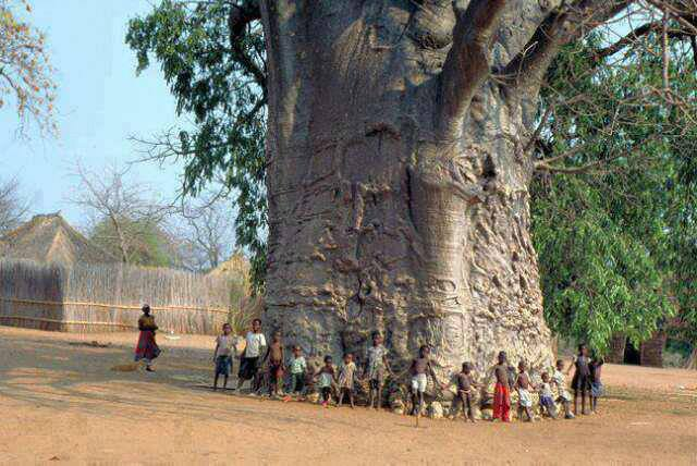 2000 years old tree in South Africa known as tree of life