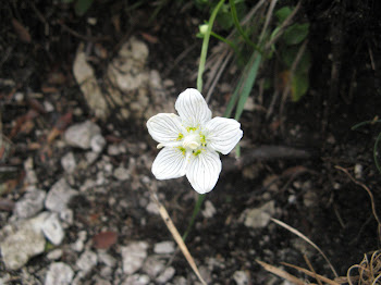 Parnassia palustris (Parnassia)