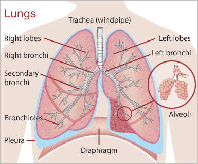 The Lungs Parts of our Body Function Location Position Pics System