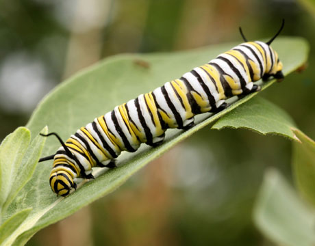 Image caterpillar and butterfly
