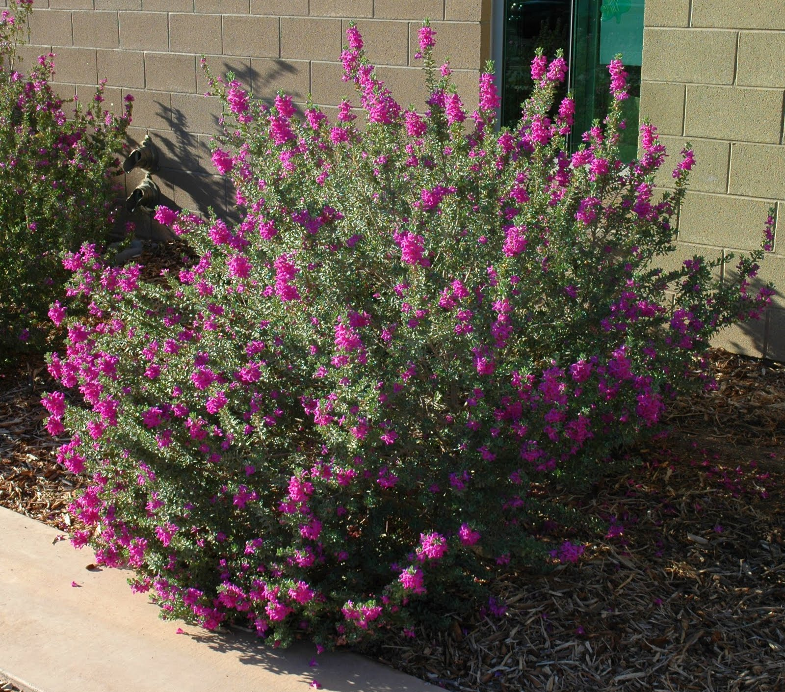 Turn your boring green 39 ball 39 into a beautiful flowering shrub ramblings from a desert garden - Blooming shrubs ...