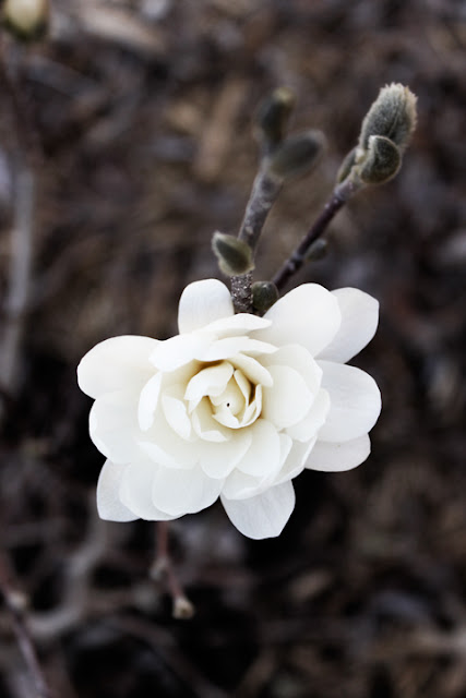 magnolia stellata 39 royal star 39 roots shoots garden. Black Bedroom Furniture Sets. Home Design Ideas