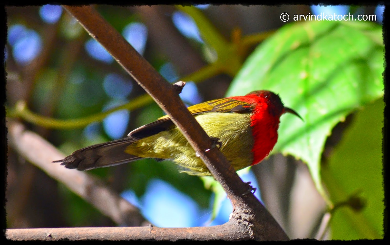 Crimson Sunbird, Bottom, Sunbird