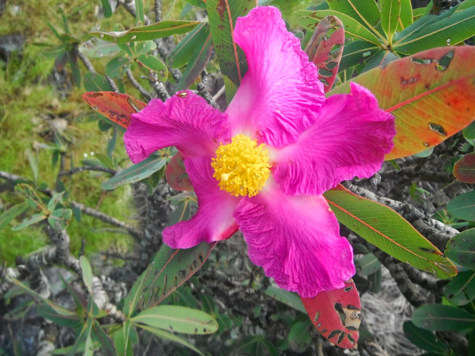 Flor do Cerrado, Alto Paraíso, Chapada dos Veadeiros