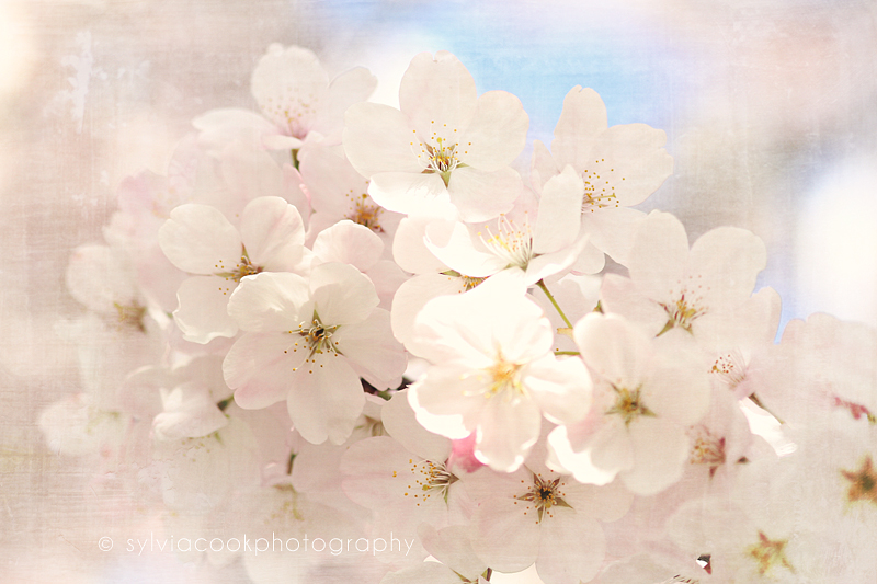 spring flowers, cherry blossoms, Seattle, Washington