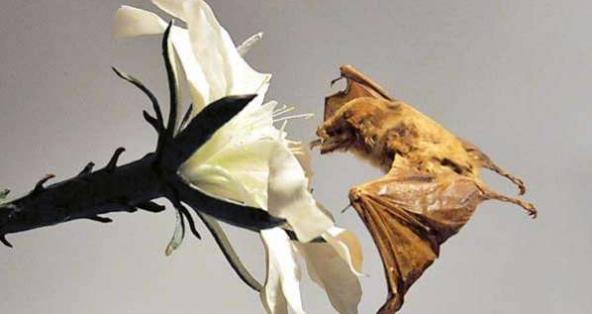 Quiropteros y murcielago nectarivoro en biologia